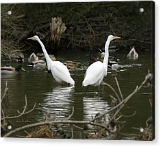 Acrylic Print featuring the photograph Pair Of Egrets by George Randy Bass