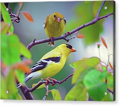 Pair Of Goldfinches Acrylic Print