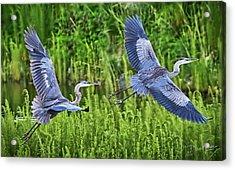 Pair Of Great Blue Herons  Acrylic Print
