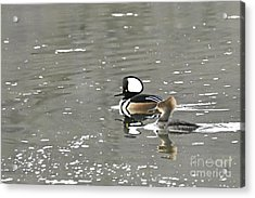 Acrylic Print featuring the photograph Pair Of Hooded Mergansers by Larry Ricker