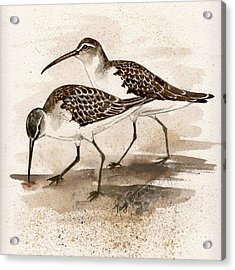 Pair Of Sandpipers Acrylic Print by Nancy Patterson