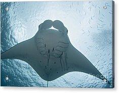 Palau, Manta Ray Acrylic Print by Dave Fleetham - Printscapes