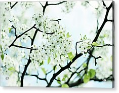 Acrylic Print featuring the photograph Pale Pear Blossom by Jessica Jenney