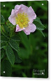 Pale Pink And Wild Acrylic Print by Deborah Johnson