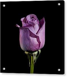 Pale Purple Rose Acrylic Print