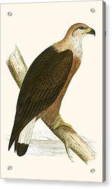 Pallas's Sea Eagle Acrylic Print by English School
