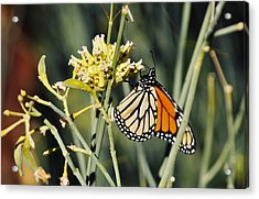 Acrylic Print featuring the photograph Palm Springs Monarch by Kyle Hanson