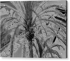 Palm Tree Acrylic Print by John Bradburn