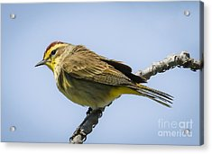 Palm Warbler  Acrylic Print by Ricky L Jones