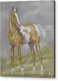 Palomino Paint Foal Acrylic Print by Dorothy Coatsworth