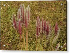 Acrylic Print featuring the photograph Pampas Grass by Athala Carole Bruckner