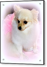 Pampered Pomeranian  Acrylic Print by Kathy  White