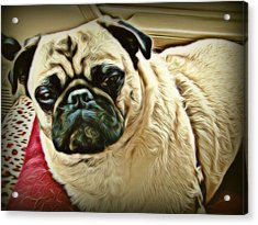Pampered Pug Acrylic Print