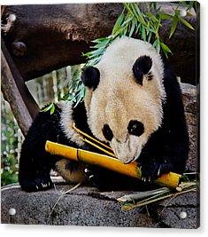 Panda Bear Acrylic Print by Robert Bales