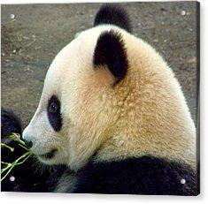 Panda Snack Acrylic Print by Karen Wiles