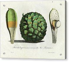 Acrylic Print featuring the drawing Pandanus Fruit Guam Marianas by Choris
