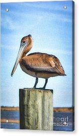 Panhandle Pelican Acrylic Print by Mel Steinhauer