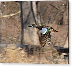 Panning For Teal Acrylic Print