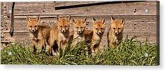 Panoramic Fox Kits Acrylic Print by Mark Duffy