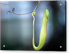 Pan's Green Flute Acrylic Print by Laurie Paci