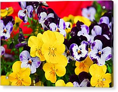 Pansies And Red Cart Acrylic Print