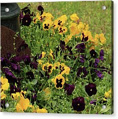 Acrylic Print featuring the photograph Pansies by Kim Henderson