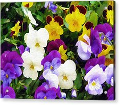 Acrylic Print featuring the photograph Pansies by Sandy MacGowan