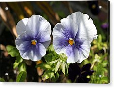 Pansy  Acrylic Print by Evelyn Patrick