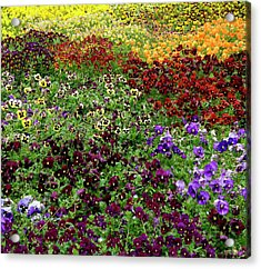 Acrylic Print featuring the photograph Pansy Garden by Frank Tschakert