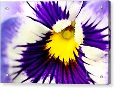 Pansy Violets Acrylic Print