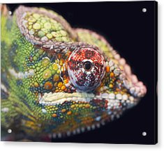 Acrylic Print featuring the photograph Panther Chameleon  by Nathan Rupert