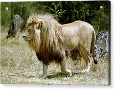 Papa Lion On The Prowl Acrylic Print by Charles  Ridgway