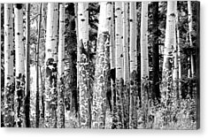 Paper Birch Acrylic Print by Julie Lueders