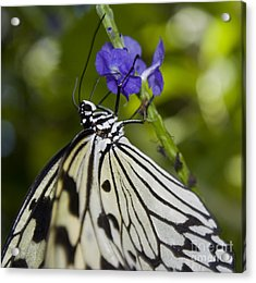 Paper Kite Butterfly Acrylic Print by Heather Applegate