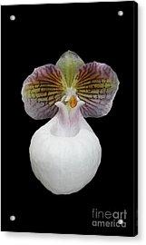 Paphiopedilum Micranthum Eburneum Orchid Acrylic Print