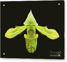 Paphiopedilum Venustum Closeup Acrylic Print