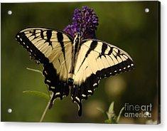 Papilio Yellow Acrylic Print