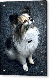 Papillon Dog Acrylic Print