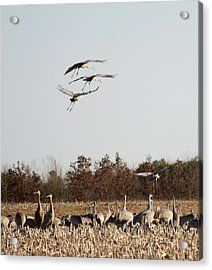 Acrylic Print featuring the photograph Parachuting Cranes by Diane Merkle