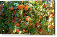 Paradise For Persimmons Acrylic Print