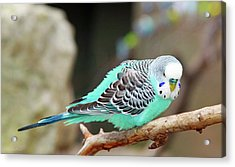Parakeet  Acrylic Print by Inspirational Photo Creations Audrey Woods