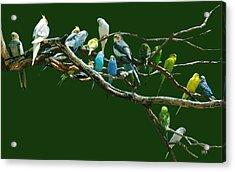 Parakeets N Cockatiels Acrylic Print