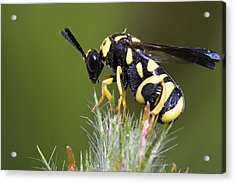 Parasitic Chalcid Wasp Acrylic Print by Andre Goncalves