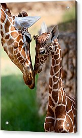 Parent-child Relationship Acrylic Print by Yuri Peress