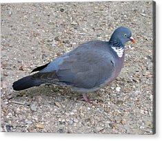 Acrylic Print featuring the photograph Paris Pigeon by Suhas Tavkar