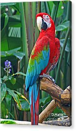 Parrot Acrylic Print by Dawn Harris