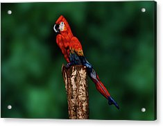 Parrot Bodypainting Illusion Acrylic Print