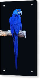 Parrot Perfection Acrylic Print by DiDi Higginbotham