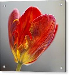 Parrot Tulip 9 Acrylic Print by Robert Ullmann