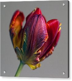 Parrot Tulips 15 Acrylic Print by Robert Ullmann